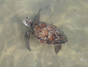 bspca-seaturtle-released-copy